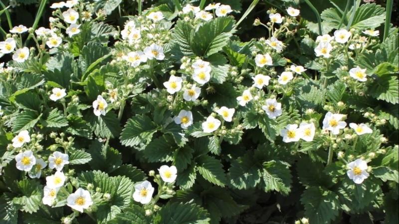 5 подкормок для клубники во время её цветения