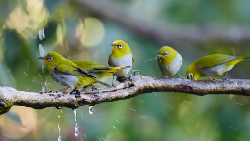 一群洗澡的绣眼鸟,像极了抹茶丸子