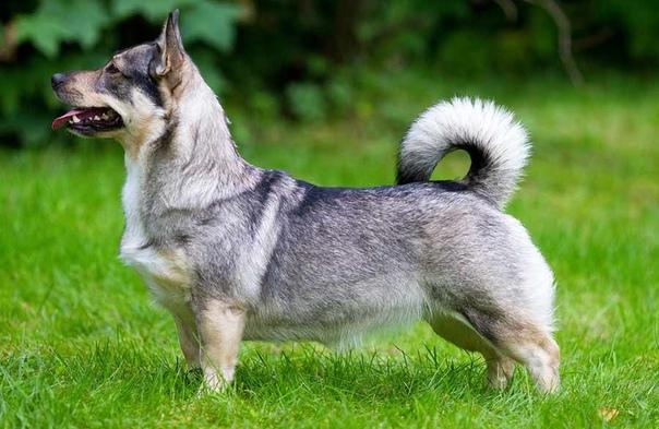 ПЯТЬ РЕДКИХ И АУТЕНТИЧНЫХ ПОРОД СОБАК Сегодня рассмотрим пять очень интересных пород собак, о которых вы вряд ли могли слышать! Чем же они так занимательны - некоторые из них древнее самих