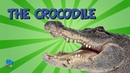 The Crocodile Educational Video for Kids