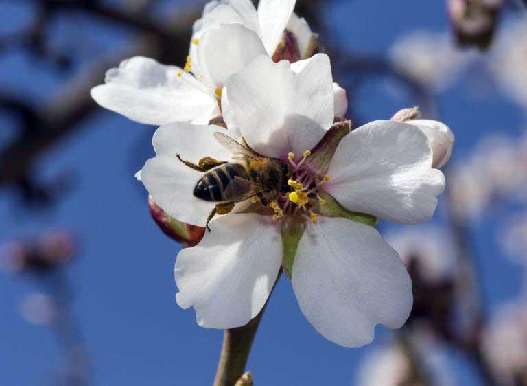 Здоровье печени можно поддерживать принимая пыльцу пчел в качестве БАД