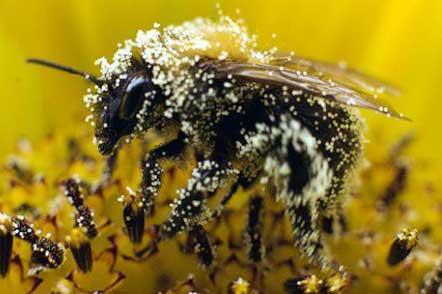 Пчелиная пыльца содержит витамины, минералы, углеводы, липиды и белок.