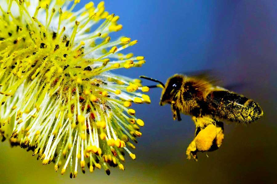 Научная поддержка пользы пчелиной пыльцы для здоровья