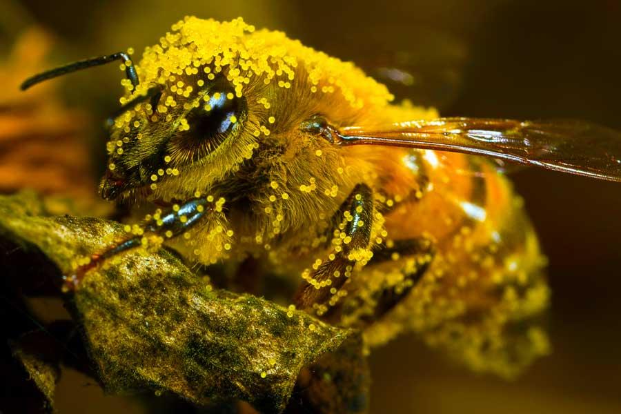 пыльца пчел