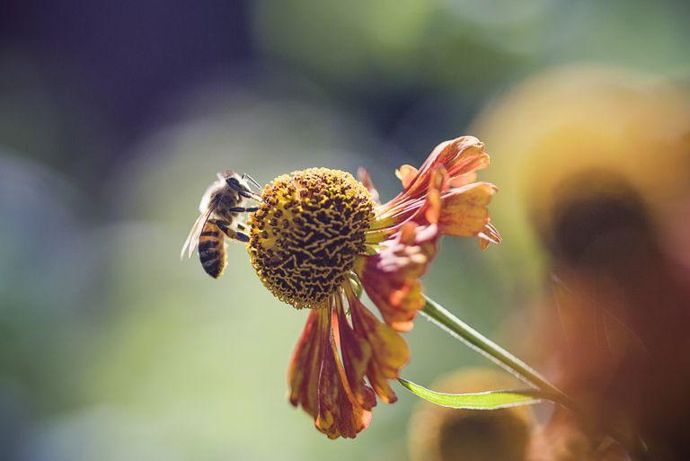 Также называемый пчелиный хлеб, или амброзия, пчелиная пыльца хранится в клетках выводка, смешивается со слюной и запечатывается каплей меда.