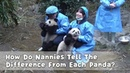 How Do Nannies Tell The Difference From Each Panda? iPanda