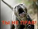 Самая опасная собака в мире Амстафф и питбуль, заводить ли эту породу собак