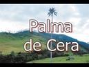 La Palma de Cera nativa de los bosques andinos