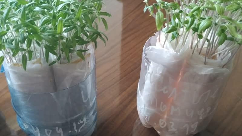 Рассада в бумажных полотенцах и с перекисью водорода