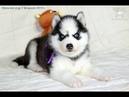 Мальчик щенок хаски чёрно-белый, родился 1 февраля 2019 года