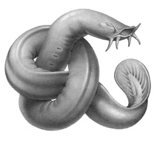 Миксина В водах Мирового океана водится интересный представитель животного мира миксина. Представлен этот отряд позвоночных 15 видами, наибольшее количество которых распространено у западных