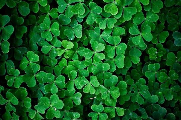Почему символом Ирландии является именно трехлистный клевер