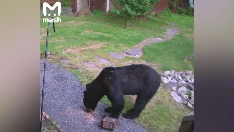 Пёс увидел дикого медведя в хозяйском дворе и пошёл в атаку.