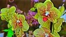 Корни орхидеи будут всегда ЗДОРОВЫ ДЕЛАЙТЕ КАК Я