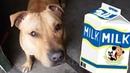 Можно ли кормить собаку молоком Можно ли давать молоко щенку