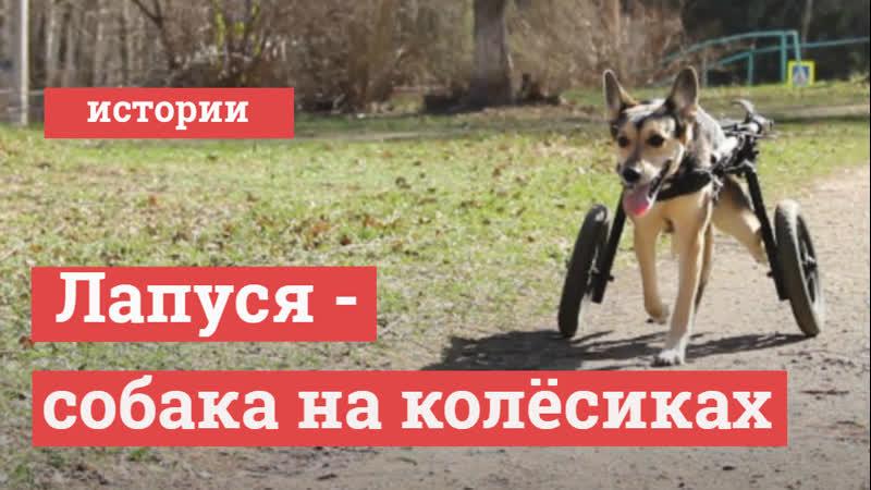 Лапуся собака на инвалидной коляске