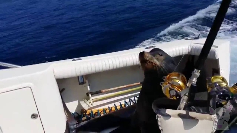 ТЮЛЕНЬ ВЫПРАШИВАЕТ РЫБУ У РЫБАКОВ Тюлень Рыбалка Тюлень напал на рыбаков Отобрал добычу Животные №34