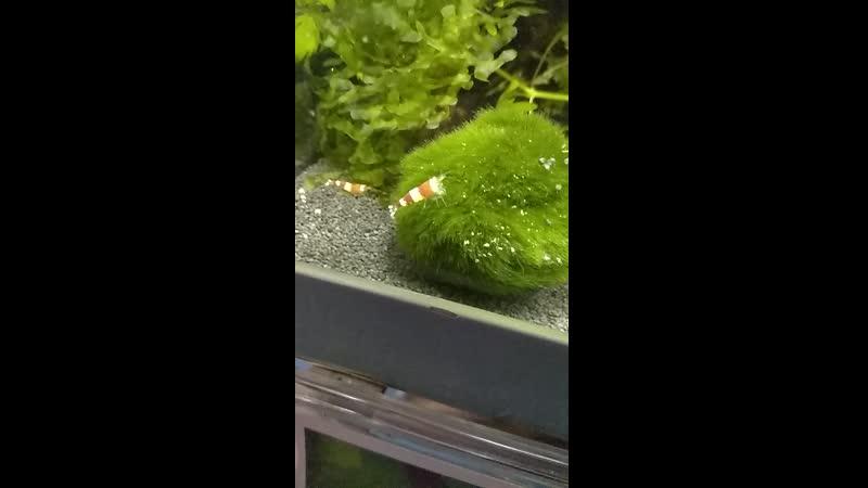 Океанариум, креветка что-то вытворяет