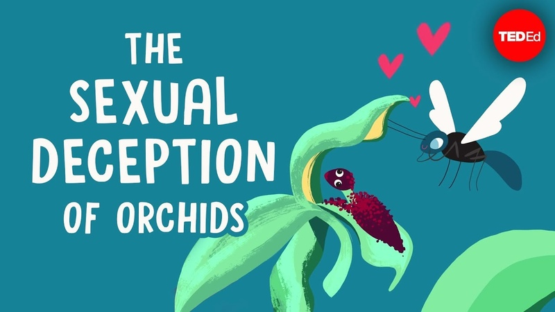The sexual deception of orchids - Anne Gaskett