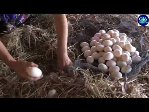 Nghề nuôi Vịt đẻ thu hoạch hơn 1000 hột mỗi đêm | duck's egg