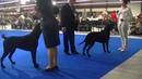 Curly Coated Retriever Euro dog show 2018