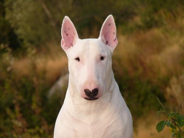 ИСТОРИЯ ПОРОДЫ: БУЛЬТЕРЬЕР Название «бультерьер» совмещает в себе две группы собак: терьеров и бульдогов. И хотя в знакомом нам облике эти собаки сформировались не очень давно, история