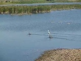 Стая лебедей на реке