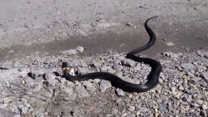 Змей съел ядовитую лягушку Snake eating a poisonous frog