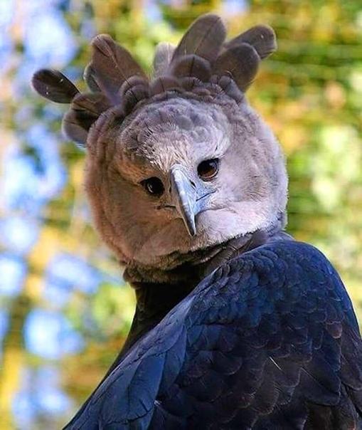 10 снимков южноамериканской гарпии, которая так огромна, что выглядит как человек в костюме птицы