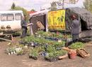 Дачники рискуют нарваться на некачественные саженцы и рассаду