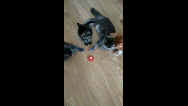 Spinor and maine coon
