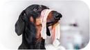 Don't trust cute dachshund eyes vol 4! Funny dog video!