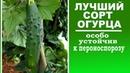 Лучшие сорта огурцов устойчивых к пероноспорозу . Посадите этот огурец для обильного урожая