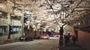 TOKYO Cherry Blossoms 2019 | Roppongi Ark Hills - 4K 50fps