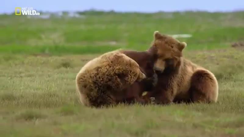 Аляска Бурый медведь