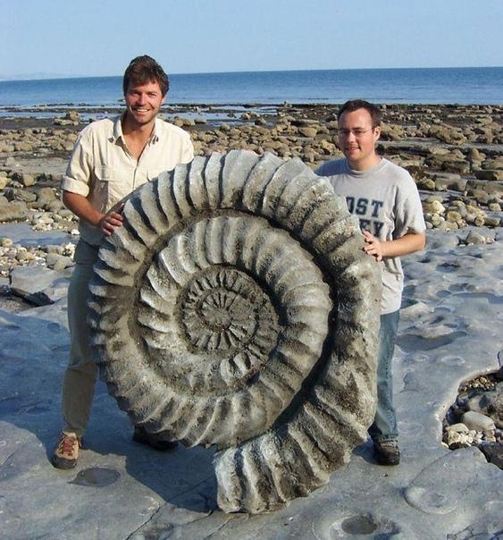 Гигантская окаменелость аммонита