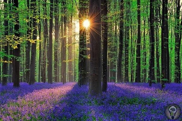 Халлербос  синий лес в Бельгии