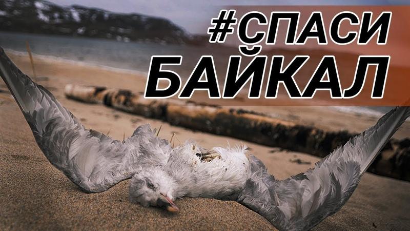 Крысы и вороны. Уничтоженная природа Байкала. Часть 3. Будь в курсе
