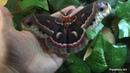 Hyalophora Cecropia Moth (Male)