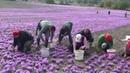 Red greek saffron harvest2