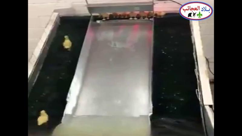 بط صغير يلعب ويتزحلق على الزلاقة فى الماء ر 1