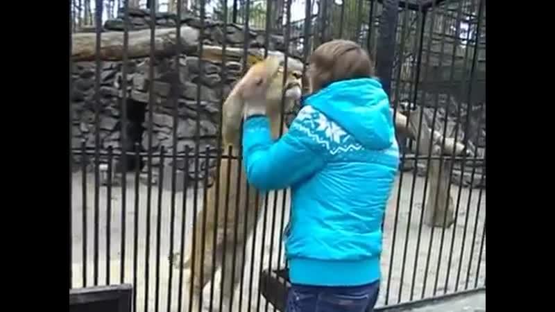 Лилигр Киара и львенок Хельга в Новосибирском Зоопарке