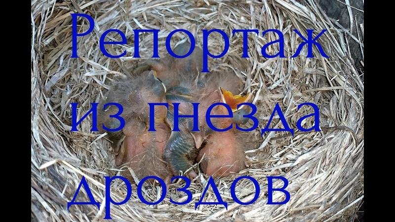 Репортаж из гнезда дроздов   Птенцы вылупились из яиц