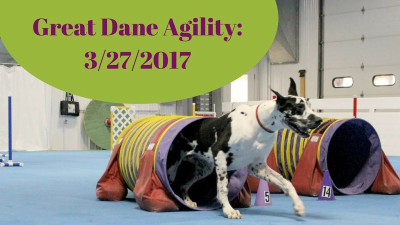 Great Dane doing Agility. Whats happening with the Weave Poles