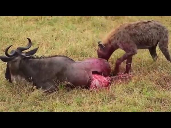 Sırtlan canlı canlı Bufaloyu yiyiyor