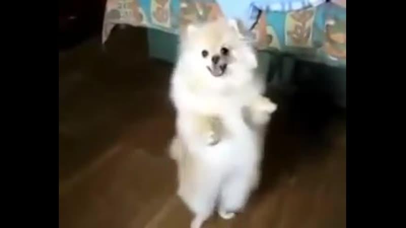 Шпиц танцует под Лезгинку)
