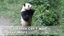 Hungry Panda Can't Wait To Have Meals While Nanny Is Still Absent iPanda