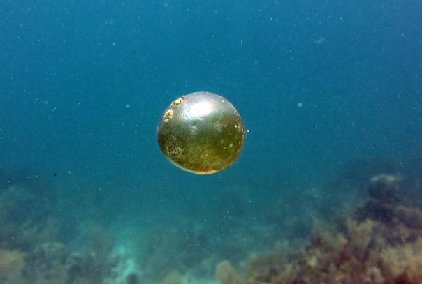 Странное существо Valonia ventricose один из самых крупных одноклеточных организмов на Земле Эти странные организмы размером с яйцо можно встретить по всему миру. Знакомьтесь: Valonia ventricose