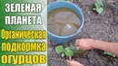 Супер удобрение для супер урожая! / Выращивание огурцов / Первая подкормка после высадки в грунт