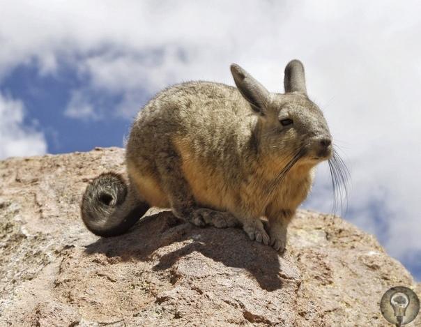 Перуанская вискаша или северная вискача - вид грызунов из семейства шиншилловых.